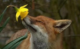 volpe fiore