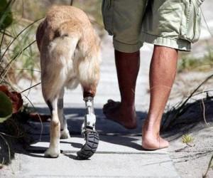 Cane con protesi ortopedica