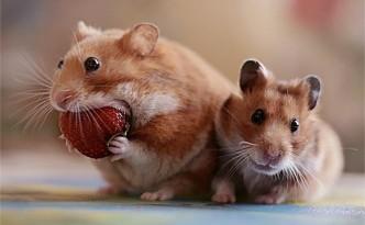 Animali esotici: piccoli roditori
