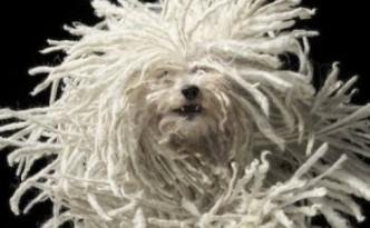 cane peloso evid