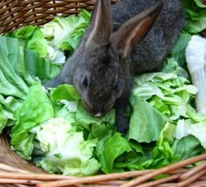 coniglio insalata