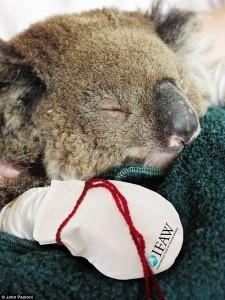 Guanti per koala cercasi!