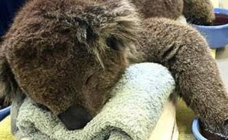 koala evid